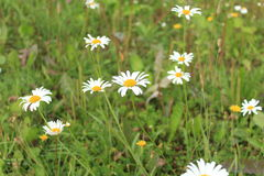 Beauty and peace in a field of daisies. Daisies blossomed in the meadows in July Royalty Free Stock Image