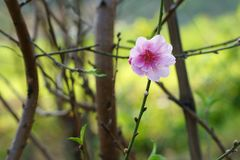 Beauty of peach blossom in spring afternoon. Flowers bloom in garden. Signals of spring stock photos