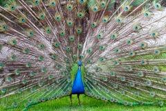 The beauty of a peacock. A peacock shows his big wheel Stock Photos