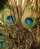 Beauty of Peacock Feathers. Gold and teal peacock feathers Royalty Free Stock Image