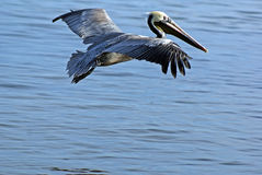 Beauty of a Pelican Stock Photography
