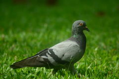 Beauty of Pigeon. You can find a pigeon at the park everyday. You cannot walk near it. Because it fly very fast Stock Images