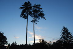 Beauty pine in Changbai Mountain stock photo