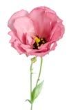 Beauty pink flower. Eustoma Royalty Free Stock Image