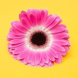 Beauty pink flower on yellow background Stock Photo