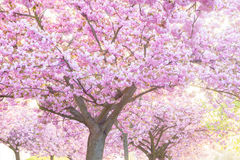 Beauty pink flowering ornamental trees Royalty Free Stock Photo
