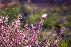 Beauty pink heather blossoming outdoor / botanic garden (color t Stock Images