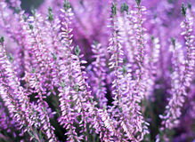 Beauty pink heather blossoming outdoor / botanic garden (color t Royalty Free Stock Photo