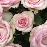 Pink with ivory velvet rose royalty free stock images