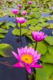 Beauty pink lotus flower Stock Images