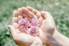 Beauty pink sakura flowers in female hands. Female hands holding fresh pink sakura flowers Royalty Free Stock Image
