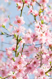 Beauty of pink soft flower on spring cherry tree branch Stock Photo