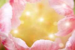 Beauty pink tulips close-up Royalty Free Stock Image