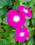 The beauty pink Vinca flower on green nature background Stock Photos