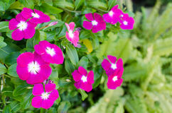 The beauty pink Vinca flower isolated on green nature background Royalty Free Stock Photography