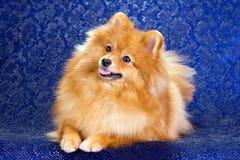 Beauty Pomeranian dog Stock Photo