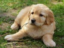 Beauty puppy Stock Image
