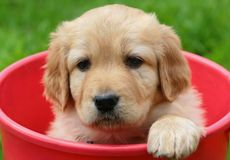 Beauty puppy in red bucket Stock Photography