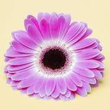 Beauty  purple flower on umber background Stock Image