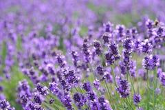 Beauty purple lavender fields background. Beauty purple lavender field background stock images