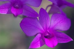 The beauty of purple orchid stock photography