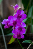 Beauty purple streaked orchid flower blooming. Royalty Free Stock Photography