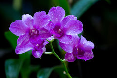 Beauty purple streaked orchid flower blooming. Royalty Free Stock Photos