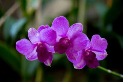 Beauty purple streaked orchid flower blooming. Royalty Free Stock Photo