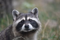 Raccoon look forward royalty free stock photos