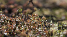 Raindrops on moss Royalty Free Stock Image