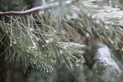 The beauty of raindrops on this conifer stock image