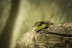Beauty rat snake Stock Photos