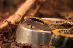 Beauty rat snake Stock Images
