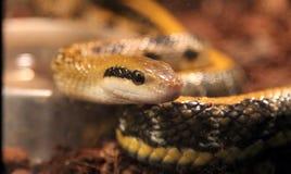 Beauty rat snake Royalty Free Stock Photo