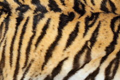 Beauty of real tiger fur. Texture of pelt on hunted animal Stock Photography