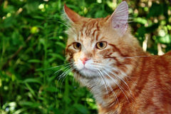 Beauty red cat Royalty Free Stock Photography