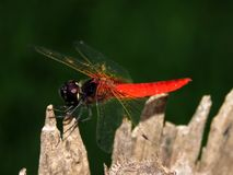 Beauty of red dragonfly royalty free stock photography