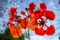 The beauty of a red flower or Caesalpinia pulcherrima L. Sw. royalty free stock photo