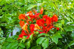 The beauty of a red flower or Caesalpinia pulcherrima   L. Sw. On green tree in garden Stock Images