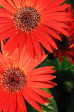 Beauty red flowers Royalty Free Stock Photography
