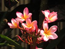The beauty of red frangipani flowers is pleasing to the eye. Frangipani flower is an ornamental flower that functions to beautify the yard stock photo