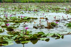The beauty of the red lotus in the lake . stock photo