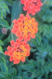Beauty of red and orange flowers of Lantana camara. Lantana camara known as big-sage, wild-sage, red-sage, white-sage, tickberry is a species of flowering plant stock photography