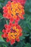 Beauty of red and orange flowers of Lantana camara. Lantana camara known as big-sage, wild-sage, red-sage, white-sage, tickberry is a species of flowering plant royalty free stock photo