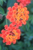 Beauty of red and orange flowers of Lantana camara. Lantana camara known as big-sage, wild-sage, red-sage, white-sage, tickberry is a species of flowering plant royalty free stock images