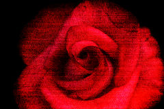 Beauty red rose, abstract jeans texture flower background Stock Photos