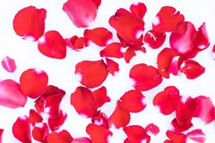 Beauty red rose petal on white background. Red rose petal on white background Stock Photo