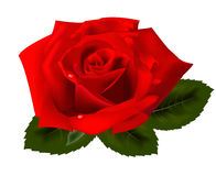 Beauty red rose on a white background Royalty Free Stock Photos