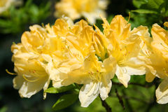 Beauty of rhododendron Stock Images