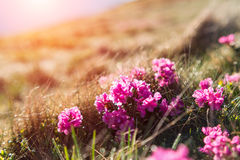 Beauty rhododendron flowers in high mountains Royalty Free Stock Photo